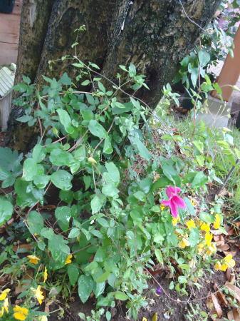 ダイアナ 開花