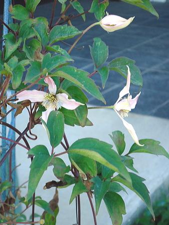 モンタナ 狂い咲き