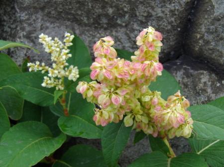 茶臼岳山頂花2