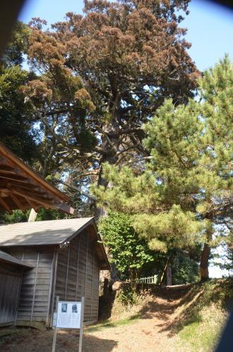 20140207i飯積の大杉11