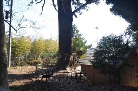 20140207i飯積の大杉07