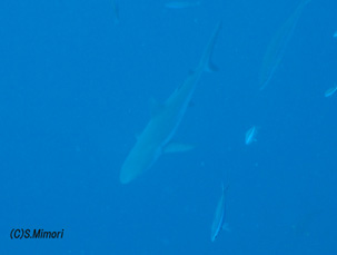 これは普通のグレーリーフシャーク(メジロザメ)です。