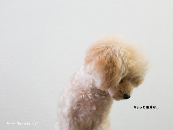 トイプードル ブログ