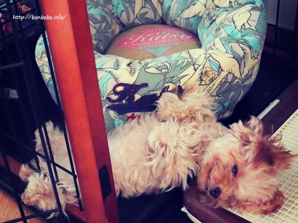 トイプードル 睡眠