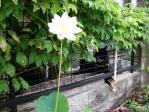 蓮の開花2