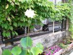 蓮の開花1