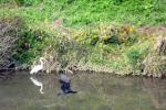野生のカワウの飛翔