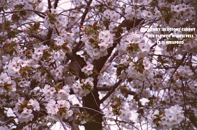 Cherry-blossoms carpet 5