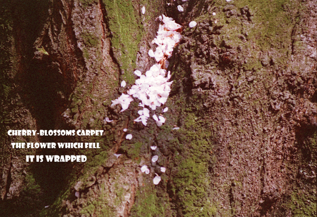 Cherry-blossoms carpet 22