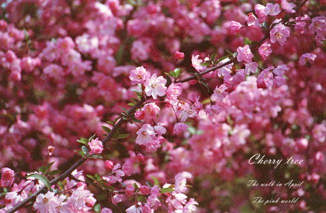 Cherry tree11