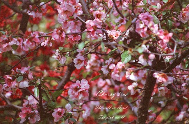 Cherry tree12