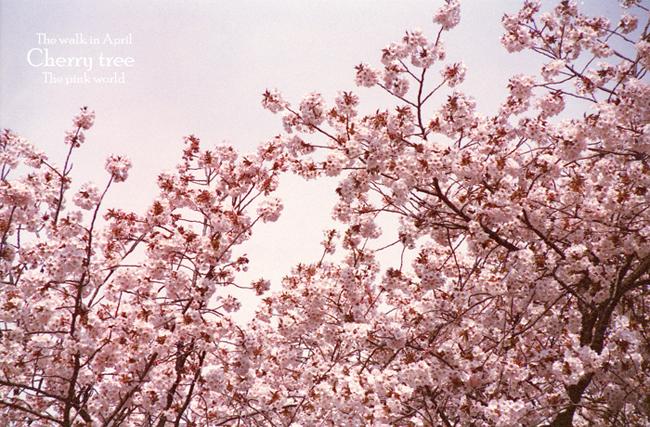 Cherry tree13