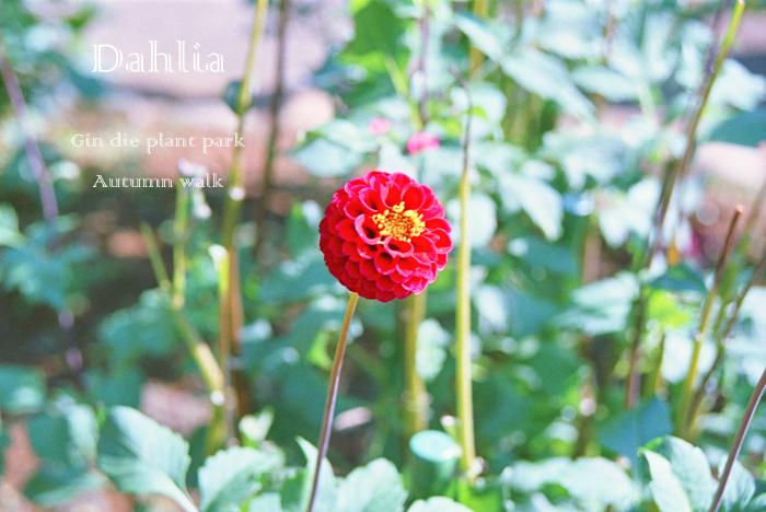 Dahlia21.jpg