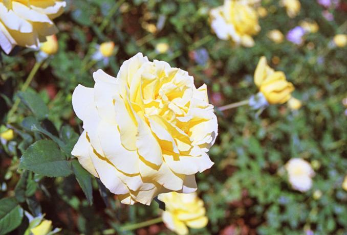 Rose12.jpg