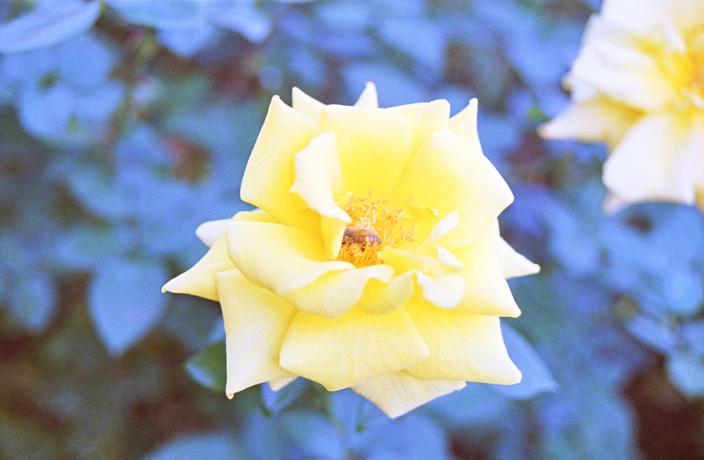 Rose3_20121114204353.jpg