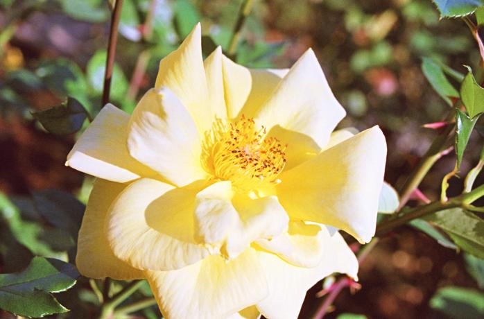 Rose5_20121114204354.jpg