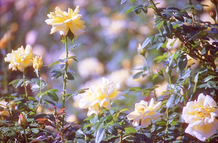 Rose6_20121114204354.jpg