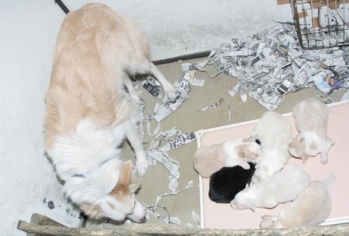 2012年1月7日生まれ=お母さん犬=マロンちゃん