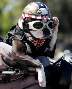 Chopper+the+Biker+Dog_convert_20120607155804.jpg