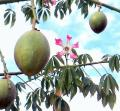 648px-Balboa_park_flower_and_fruit[1]