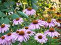 800px-Echinacea_angustifolia[1]