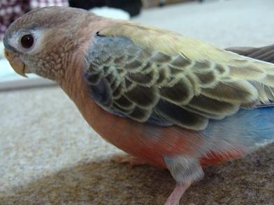 ライラックニシブッポウソウより美しい鳥