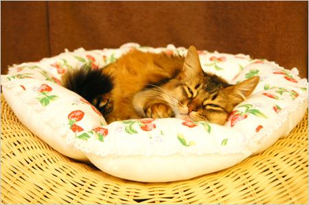猫クッションの上で寝るソマリ