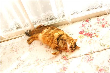 ごろりん猫ソマリ