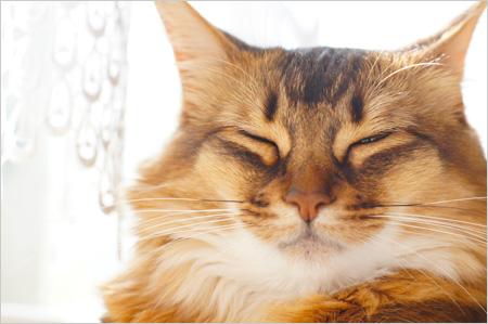 可愛い猫ソマリ