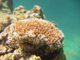 アザミ珊瑚~白保