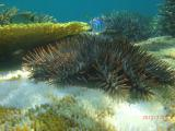 サンゴを食すにっくきオニヒトデ~この後駆除予定だそうです!