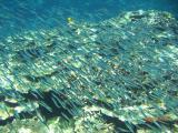 キビナゴの稚魚も海面で群れてます~鳩間