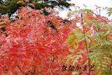 紅葉のアカはななかまどです。