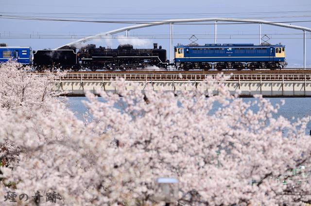 桜に見送られ
