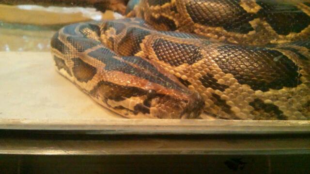 ニシキヘビ2