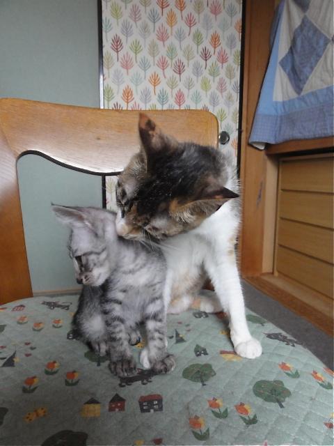 三毛母猫・ハートちゃん♀&キジトラ・カナちゃん♀