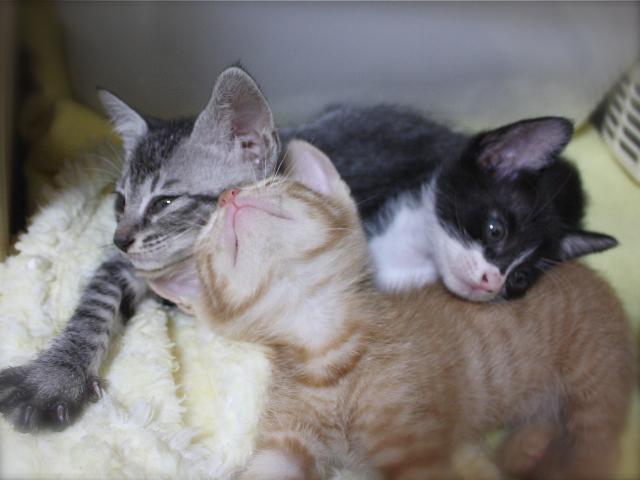 里親さん募集中・子猫3兄妹