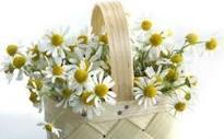 カモミール花かご