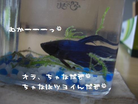 フントウ_チャナ(2)
