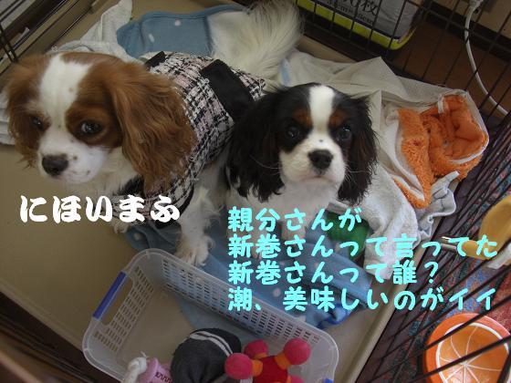 メルうし日和 ~豆キャバリア・メルと潮の日記~-クレクレ隊。