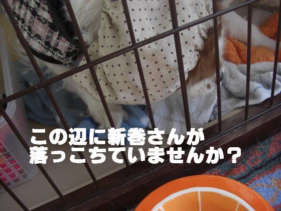 メルうし日和 ~豆キャバリア・メルと潮の日記~-新牧さん。