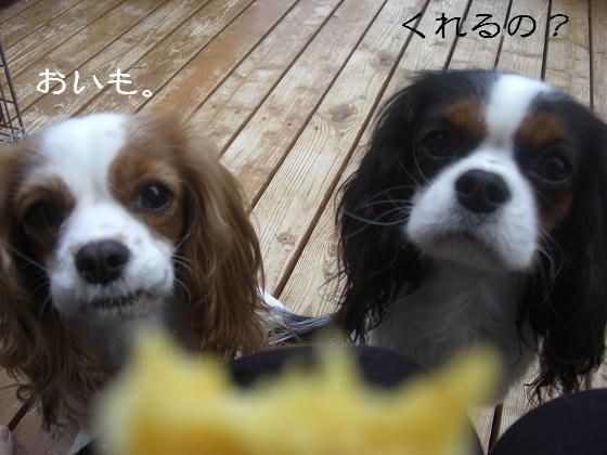 メルうし日和。++キャバリアな日記++-お芋の季節