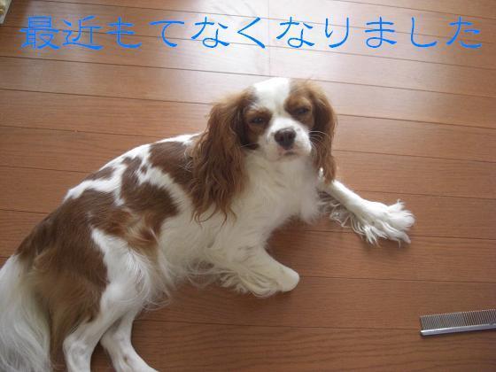 メルうし日和。++キャバリアな日記++-もてなくなりました