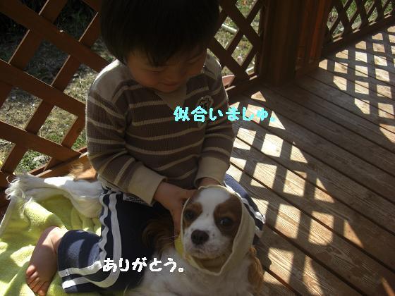 メルうし日和。++キャバリアな日記++-遊ばれる御犬。