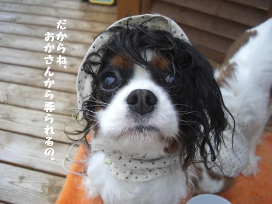 メルうし日和。++キャバリアな日記++-弄られるの顔。
