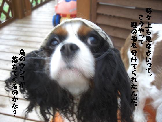 メルうし日和。++キャバリアな日記++-ウンコ落ちるの?