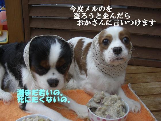 メルうし日和。++キャバリアな日記++-言わないで!!
