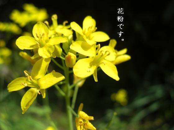 メルうし日和。++キャバリアな日記++-花粉。