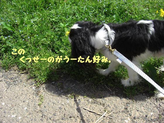 メルうし日和。++キャバリアな日記++-潮と菜の花。