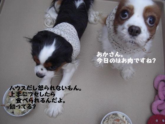 メルうし日和。++キャバリアな日記++-勝手な犬。